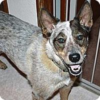Adopt A Pet :: Bodie - Woodland Hills, CA