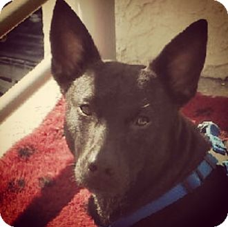 Shepherd (Unknown Type)/Labrador Retriever Mix Dog for adoption in Miami, Florida - Faith