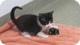 Domestic Shorthair Kitten for adoption in Fairfax, Virginia - Twinkles