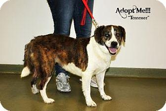Plott Hound/Hound (Unknown Type) Mix Dog for adoption in Harrisonburg, Virginia - Tennessee