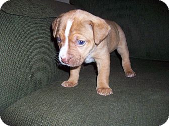 Boxer/Labrador Retriever Mix Puppy for adoption in HAGGERSTOWN, Maryland - MADISON