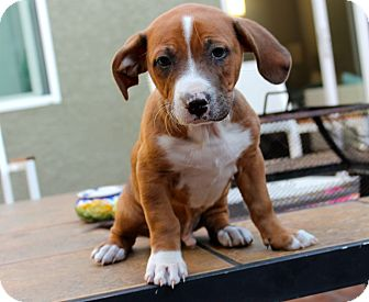 Boxer/Catahoula Leopard Dog Mix Puppy for adoption in Los Angeles, California - Hollywood Hank