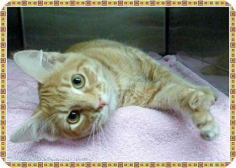 Domestic Shorthair Kitten for adoption in Marietta, Georgia - FREDDIE
