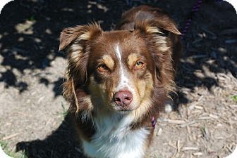 Australian Shepherd Mix Dog for adoption in Twin Falls, Idaho - Soho