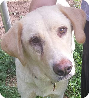 Labrador Retriever/Great Pyrenees Mix Dog for adoption in Manchester, New Hampshire - Shelby