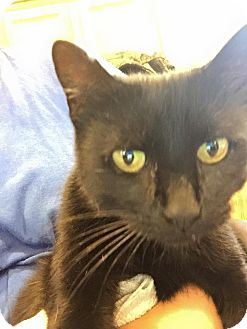 Domestic Shorthair Cat for adoption in River Falls, Wisconsin - Caviar