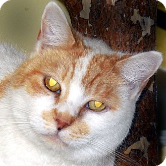 Domestic Shorthair Cat for adoption in Hayden, Idaho - Lindy