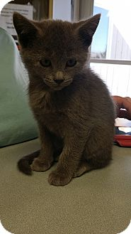 Domestic Shorthair Kitten for adoption in Cody, Wyoming - Albany