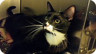 Domestic Shorthair Cat for adoption in Maryville, Tennessee - Oreo