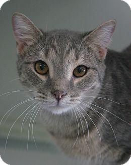 Domestic Shorthair Cat for adoption in Staunton, Virginia - Marcus