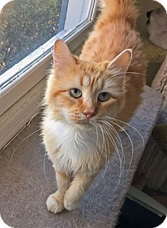 Maine Coon Cat for adoption in Flowery Branch, Georgia - Jester