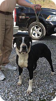 Great Dane Mix Dog for adoption in Cadiz, Ohio - EMMA