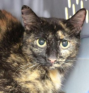 Domestic Shorthair Cat for adoption in Raleigh, North Carolina - Sweetheart J