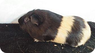 Guinea Pig for adoption in Aurora, Colorado - Smores aka Bumble Bee
