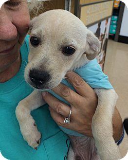 Terrier (Unknown Type, Small) Mix Puppy for adoption in Schertz, Texas - Snoopy