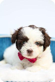 Shih Tzu Puppy for adoption in Auburn, California - Macy