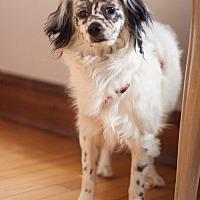 Adopt A Pet :: Bon Bon - Hoffman Estates, IL