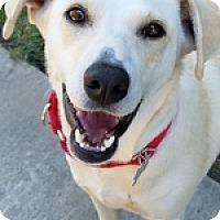 Adopt A Pet :: Dolce - Torrance, CA