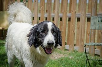 Great Pyrenees Mix Dog for adoption in Whitewright, Texas - Louie