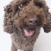 Adopt A Pet :: Buddy - San Francisco, CA