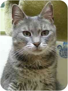Domestic Shorthair Cat for adoption in Norwalk, Connecticut - Ilona