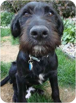 Labradoodle Mix Puppy for adoption in Evergreen, Colorado - Lando