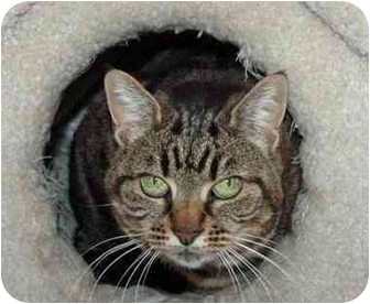 Domestic Shorthair Cat for adoption in Long Beach, California - Molli