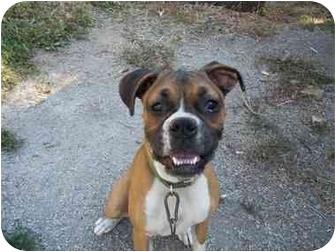 Boxer Puppy for adoption in Zanesville, Ohio - Betsy