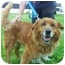 Photo 1 - Golden Retriever/Collie Mix Dog for adoption in Freeport, New York - Rusty