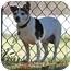 Photo 3 - Jack Russell Terrier Dog for adoption in Phoenix, Arizona - SASHA