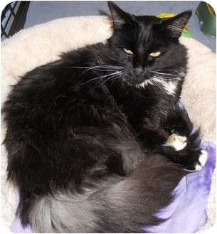 Domestic Longhair Cat for adoption in Hayden, Idaho - Lucky Lady