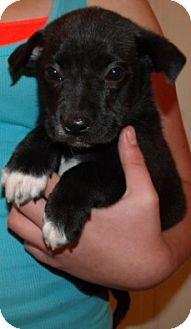 Labrador Retriever/German Shepherd Dog Mix Puppy for adoption in Corona, California - LITTLE LADIES A