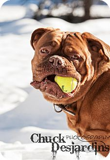 Dogue de Bordeaux Dog for adoption in La Pêche, Quebec - Sasha