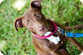 Labrador Retriever/Terrier (Unknown Type, Medium) Mix Dog for adoption in Houston, Texas - Phoebe