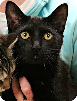 Domestic Shorthair Cat for adoption in Cullman, Alabama - Shadow