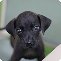 Adopt A Pet :: Victoria - South Jersey, NJ