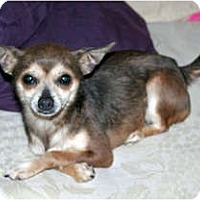 Adopt A Pet :: Daisy - Westfield, IN