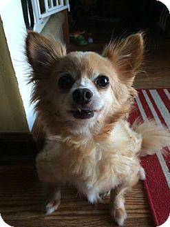 Chihuahua/Pomeranian Mix Dog for adoption in Staunton, Virginia - Casey