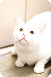 Domestic Shorthair Cat for adoption in Las Vegas, Nevada - Marley Frosty