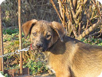Shepherd (Unknown Type)/Hound (Unknown Type) Mix Puppy for adoption in Bedminster, New Jersey - GENESIS