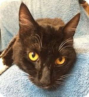 Domestic Shorthair Cat for adoption in Wheaton, Illinois - Gabe