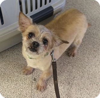Brussels Griffon/Yorkie, Yorkshire Terrier Mix Dog for adoption in Oak Ridge, New Jersey - Ophelia