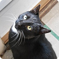 Domestic Shorthair Cat for adoption in Harrisonburg, Virginia - Max