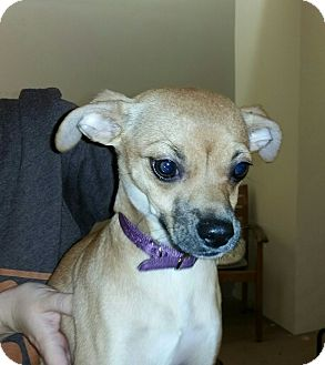 Chihuahua/Whippet Mix Dog for adoption in Valencia, California - Stella