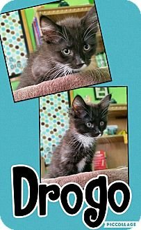 Domestic Mediumhair Cat for adoption in Edwards AFB, California - Drogo