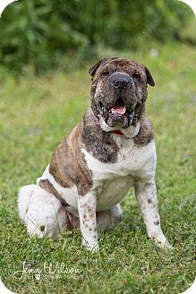 Shar Pei Dog for adoption in Drumbo, Ontario - Bogey
