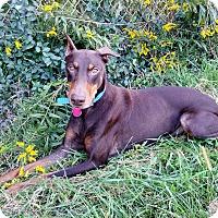 Adopt A Pet :: Pippa - New Richmond, OH