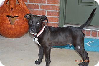 Pit Bull Terrier/Labrador Retriever Mix Puppy for adoption in Glastonbury, Connecticut - Sutton