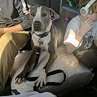 American Staffordshire Terrier/Pit Bull Terrier Mix Dog for adoption in Covington, Tennessee - Kisses
