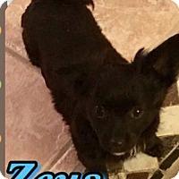 Adopt A Pet :: Zeus - Longview, TX